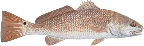 FL Redfish Fishing Chart