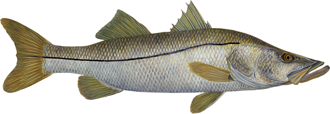 Florida Snook Fishing Chart