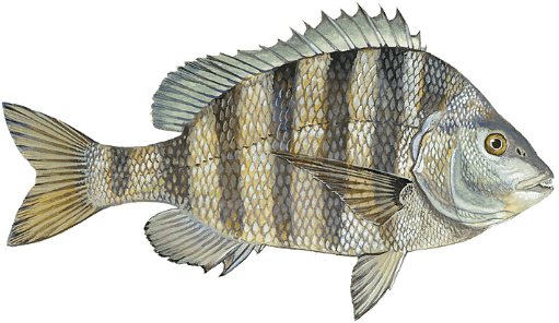 Sheepshead Fishing Chart Florida
